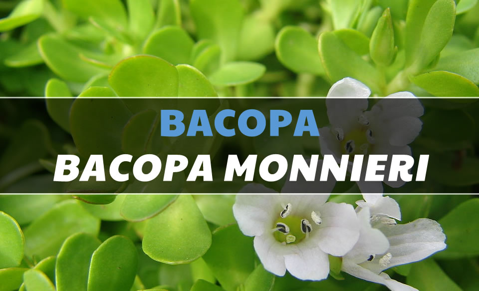bacopa monnieri | uses, side-effects, interactions, dosage